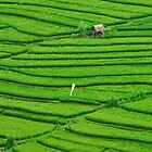 Lines in the rice field by Adri  Padmos