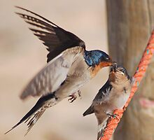 Welcome Swallows Monkey Mia Western Australia by Adrian Paul