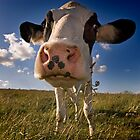 """Nosey Cow"" by Ian Snowdon /     www.downtoearthimages.co.uk"