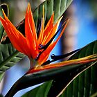 Bird of Paradise by Anne Smyth
