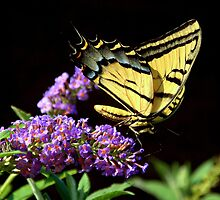 Swallowtail Butterfly and Butterfly Bush by Diana Graves Photography