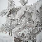 Snow Ladened Branches by Rhonda Blais