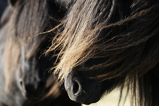 Shetland Ponies by Frances Taylor
