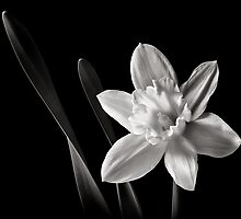 Daffodil in Black and White by Endre