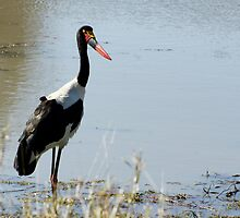 Saddle Billed Stork - WildAfrika by WildAfrika