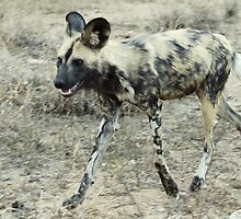 African Wild Dog - Wild Afrika by WildAfrika