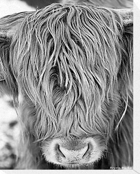 Highland Cow - Face Portrait by bfburke
