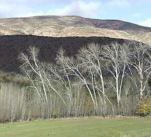 Poplars in winter.. by poohsmate