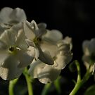 white African Violets II by Jeff Stroud