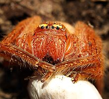 Arachnid with egg sac by Bev Pascoe