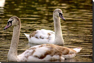 Cygnets by Trevor Kersley