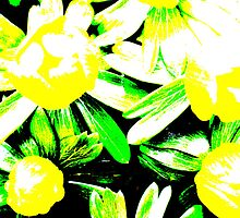 Winter Aconites - Bright by Daisy-May