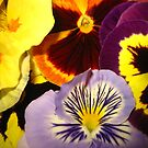 Pansies and Nasturtium by jsmusic