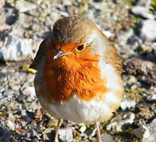 Cheeky robin walked right up again ! by Paul Woods
