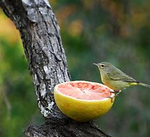 Orange-Crowned Warbler by Jennifer Suttle