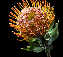 Pin Cushion Protea by Endre