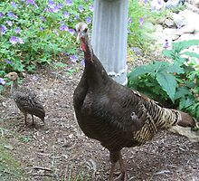 Wild Turkeys - of course by JRSousa