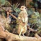 The Meerkat . by Lilian Marshall