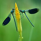 Damselflies by jimmy hoffman