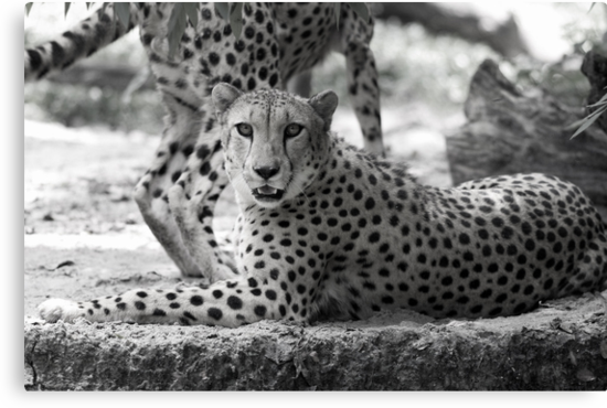 Cheetah resting on hot day in black and white by nymphalid