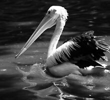 Pelican in black and white by nymphalid