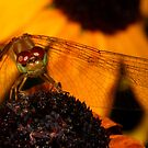 Meadowhawk on Black-eyed Susan by Kane Slater
