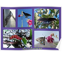 Pipevine Swallowtail Life Cycle Poster
