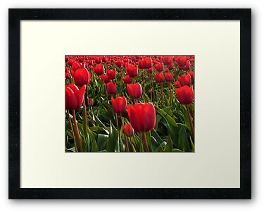 A field full Red Tulips by ienemien