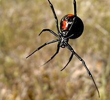 Redback Spider by John Marriott