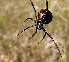 Redback Spider by John Marriott