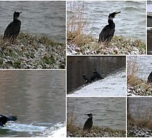 Great Cormorant Collage by angeljootje