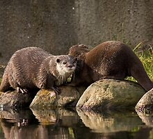 Asian short clawed otters by Jon Lees