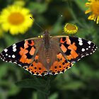 Painted Lady Butterfly in English Meadow by nymphalid