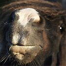 Shetland pony nose by Frances Taylor