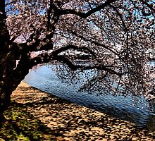 """""""Cherry Blossoms"""" - Washington DC 2009 by jwhimages"""