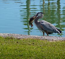 Successful Heron Hunt in Sunlakes, Arizona by Paris3