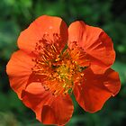 Red Geum Flower  by GnomePrints