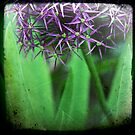 ALLIUM #2 by Jackie Cooper