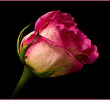 Pink Rose by (Tallow) Dave  Van de Laar
