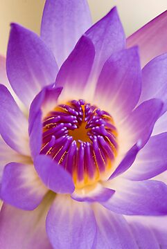 Shining Thru - purple waterlilly by Jenny Dean