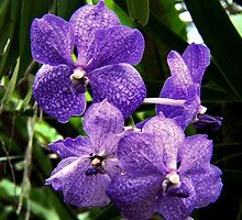 VANDA COERULEA the BLUE ORCHID by Johan  Nijenhuis