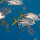 Horseeye jacks, Grand Cayman 2010 by jackmbernstein