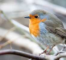 European Robin by peterwey