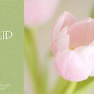 Soft pastel tulip by dhmig
