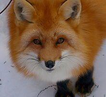 Red Fox in Winter 2 by Moxy