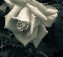 The Elegant Rose   by Mitch Labuda