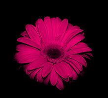 Pink  Gerbera.... on black... by Linda Bianic