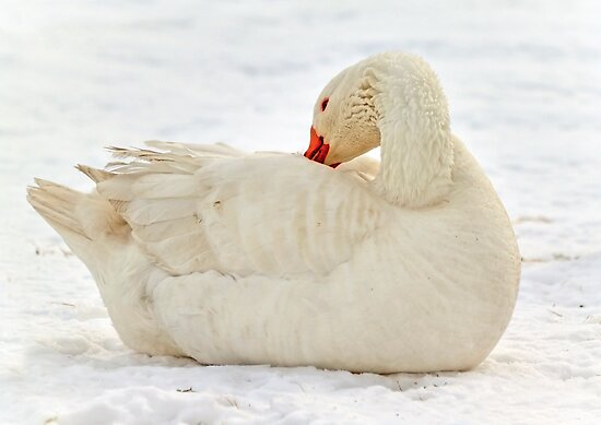 Snow Duck by Evelina Kremsdorf