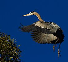 030310 Great Blue Heron by Marvin Collins