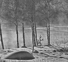 Birches by RosiePosie